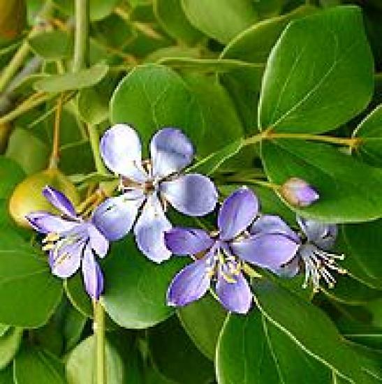 Gardenia ternifolia