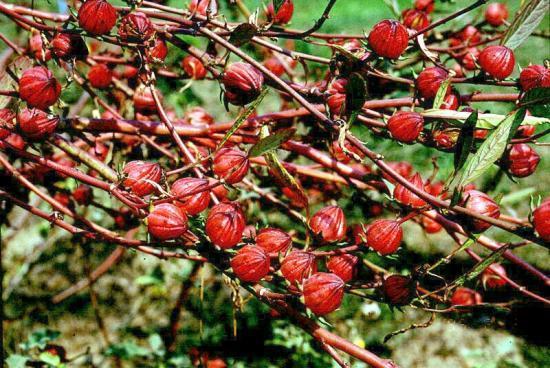 Plantes medicinales d Afrique