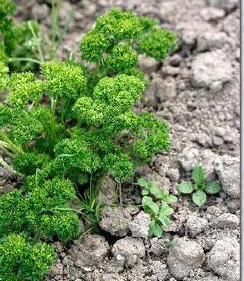Petrosilinum  sativum