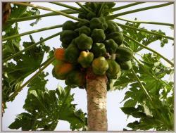 3-papaye-senegal2.jpg