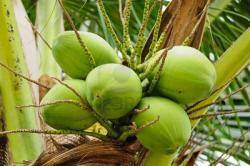 Les vertus des fruits - Arbre noix de coco ...