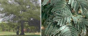 Acacia albida 1