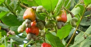 Anacardium occidentale l