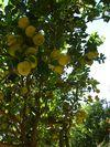 citrus-limon4.jpg