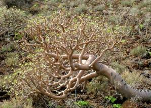 Euphorbia balsamifera 04