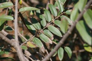 Grewia bicolor 1