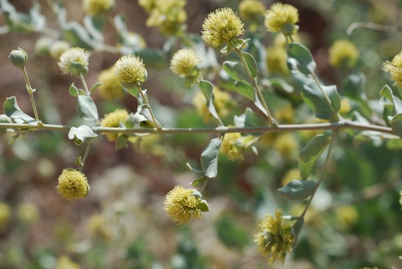Guiera senegalensis