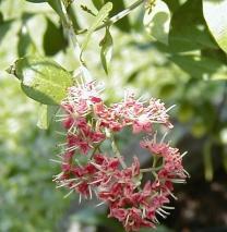 Lawsonia inermis1